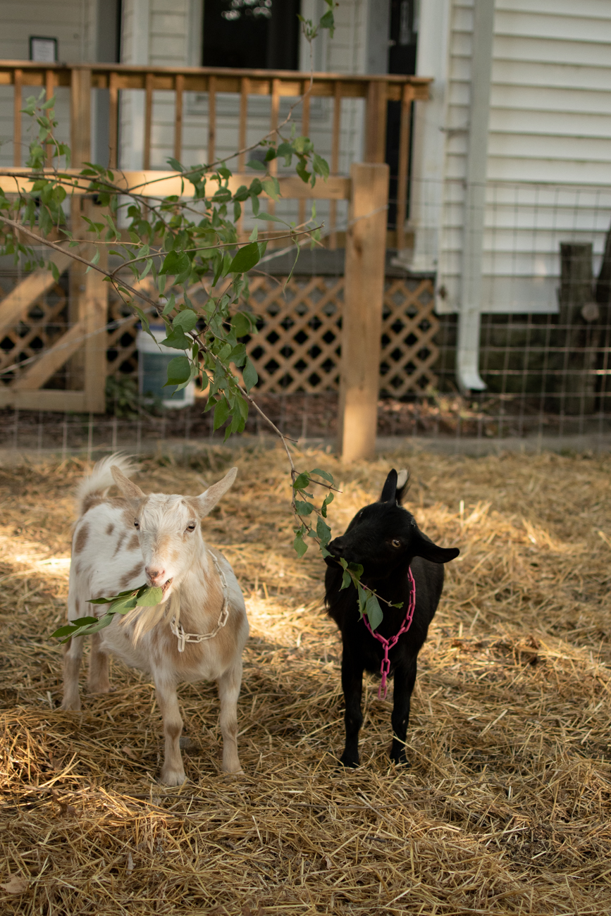 Honey and Fiddlehead are goats who joined the Fibonacci Brewing family in the summer of 2019, and chickens joined the menagerie over the summer of 2020. / Image: Shea Renusch // Published: 11.3.20