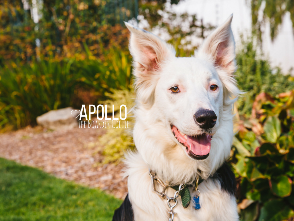 This is Apollo! Apollo is the sweetest little boy. He is an eight-month-old Boarder Collie/Aussie Shepard mix. Apollo is a farm dog and lives with his parents on a horse hobby farm close to Port Townsend. Apollo like treats, giving hugs, lazing in the sunshine, car rides, hiking. He also likes to have an occasional piece of manure left behind by the horses. Hey you know, we all have our vices. He dislikes being scolded with a squirt of water for doing something he shouldn't. (Image: Sunita Martini / Seattle Refined)