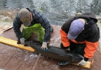 Wisconsin Department of Natural Resources workers measure a sturgeon that was captured while spawning in the Wolf River at Bamboo Bend in Shiocton April 17, 2017.