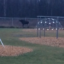 Moose visits Upper Peninsula playground
