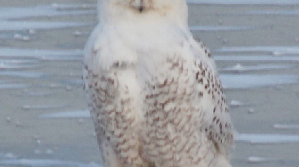 A snowy owl is seen in Fond du Lac, Dec. 12, 2013. (Photo: Jim Gage)