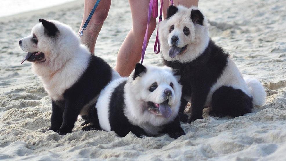Photos: Chow Chow pups bear uncanny resemblance to panda ...