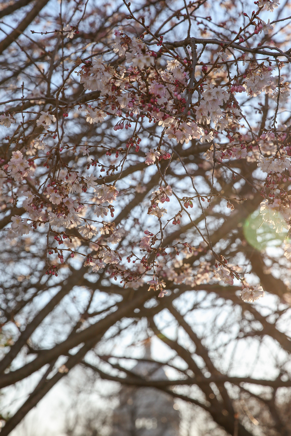 The blocks around Stanton Park are dotted with blooming cherry trees. The trees around the park itself are farther along than the Tidal Basin, but you this is a great choice if you want a D.C. landmark in your photos. (Amanda Andrade-Rhoades/DC Refined)