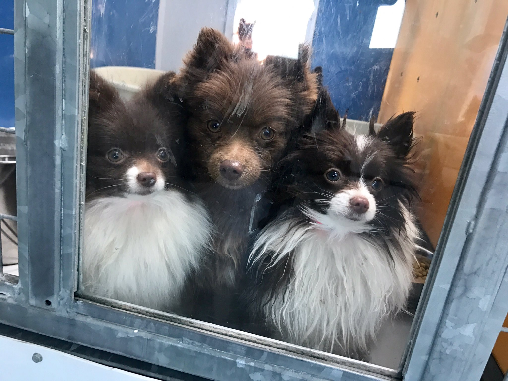 164 Pomeranians were rescued from a breeder in Sandy Valley, Nev. (Kelsey Thomas | KSNV)
