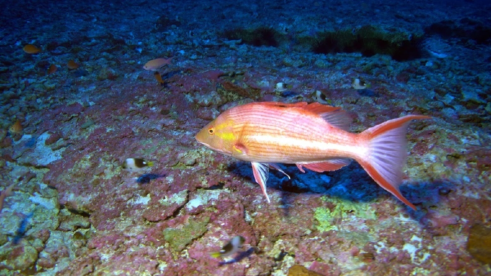 Researchers discover 3 new species of fish off hawaii kval for Fish species hawaii