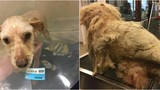 Hanford Police find matted dog with a one-pound tumor
