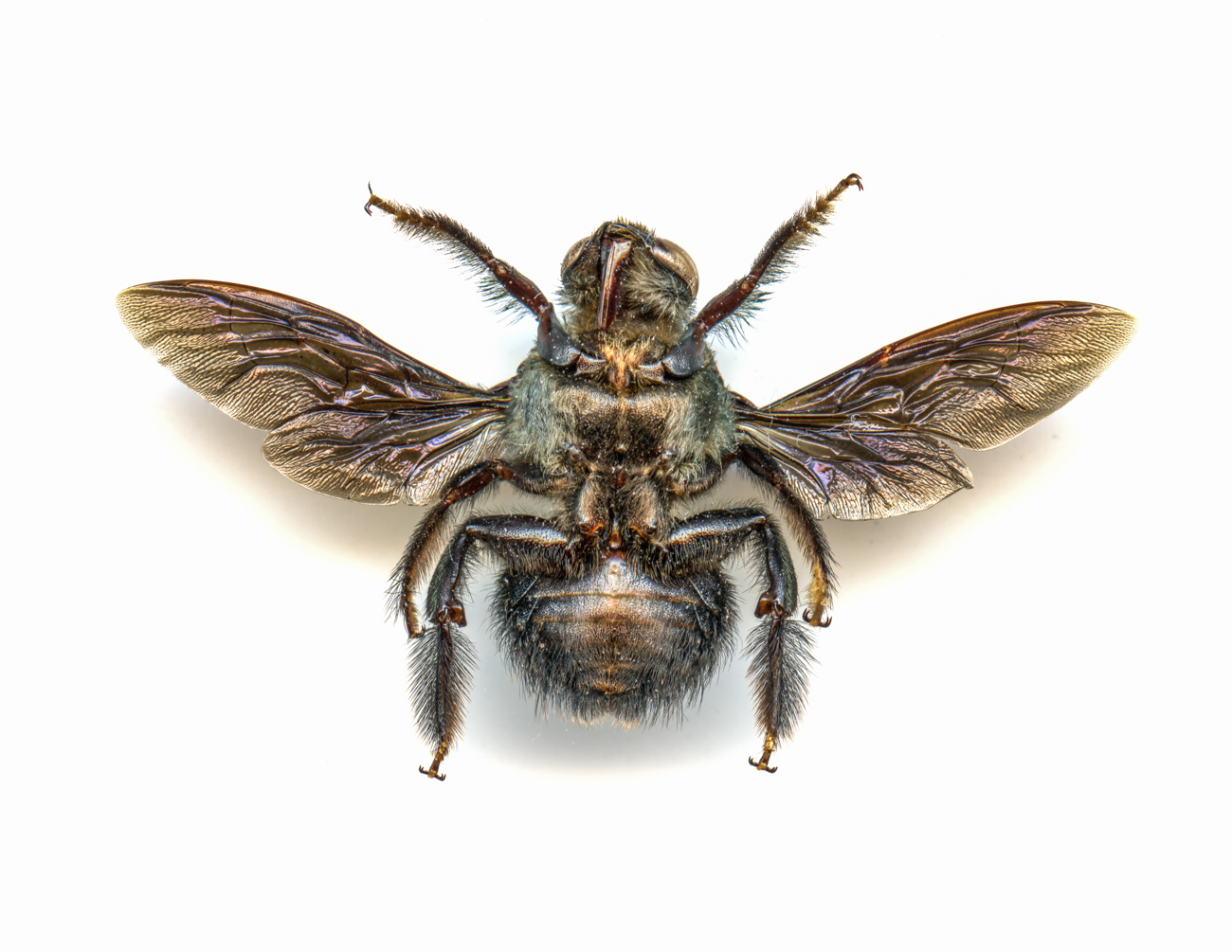 Blue Carpenter Bee / Image: Catherine Viox // Published: 4.12.20