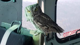 Cute co-pilot! Owl lands in helicopter fighting California wildfires