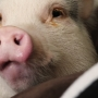 This Instagram-famous piggy is being certified to help comfort kids with epilepsy