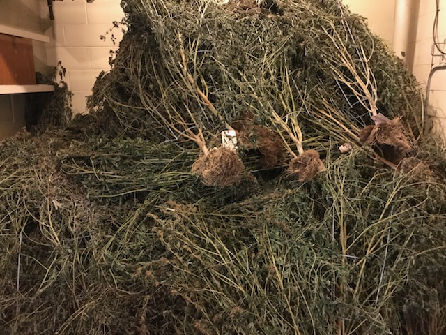 The Charlevoix County Sheriff's Office is overflowing with marijuana plants. (Photos courtesy of Charlevoix County Sheriff's Office).<p></p>