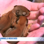 Baby red squirrels discovered in new car intake