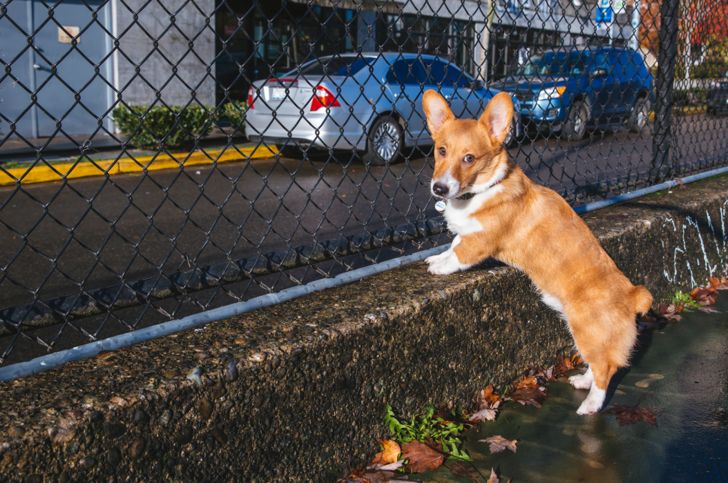 Meet Floyd the six month old Pembroke Welsh Corgi! Floyd likes snuggles, food and dogs. He dislike sirens, dogs on the TV, and rain! You can follow Floyd's journey through life on his Instagram page @floyd_corgi. The Seattle RUFFined Spotlight is a weekly profile of local pets living and loving life in the PNW. If you or someone you know has a pet you'd like featured, email us at hello@seattlerefined.com or tag #SeattleRUFFined and your furbaby could be the next spotlighted! (Image: Sunita Martini / Seattle Refined).