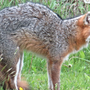 Three wild fox attacks within two days in Baldwin County area