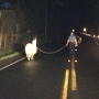 Mass. state trooper lassoes loose llama