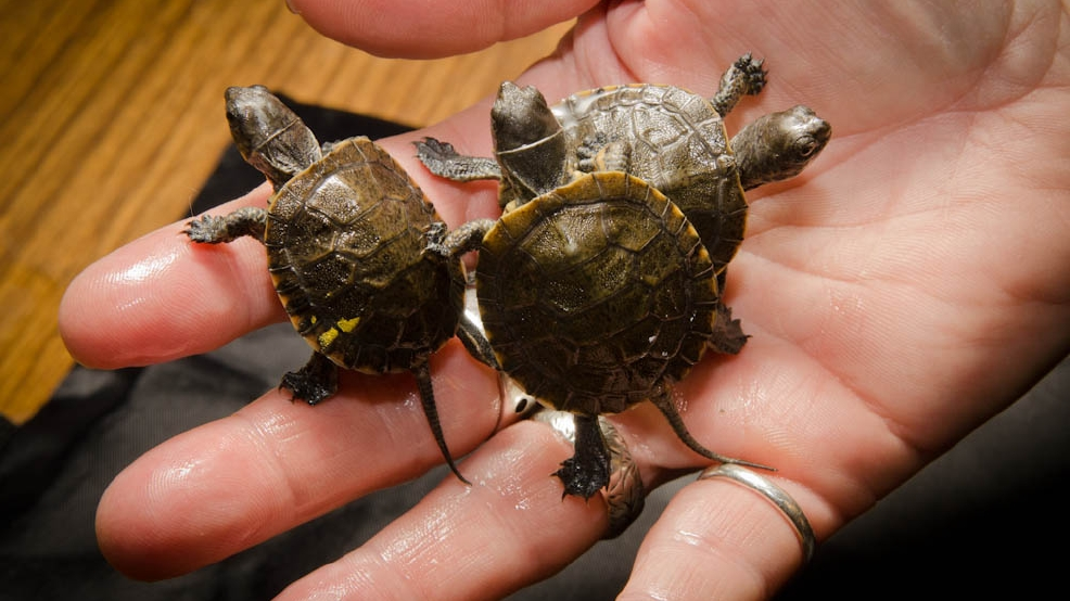 recently hatched Western Pond Turtle in the Oregon Zoos Turtle Lab ...