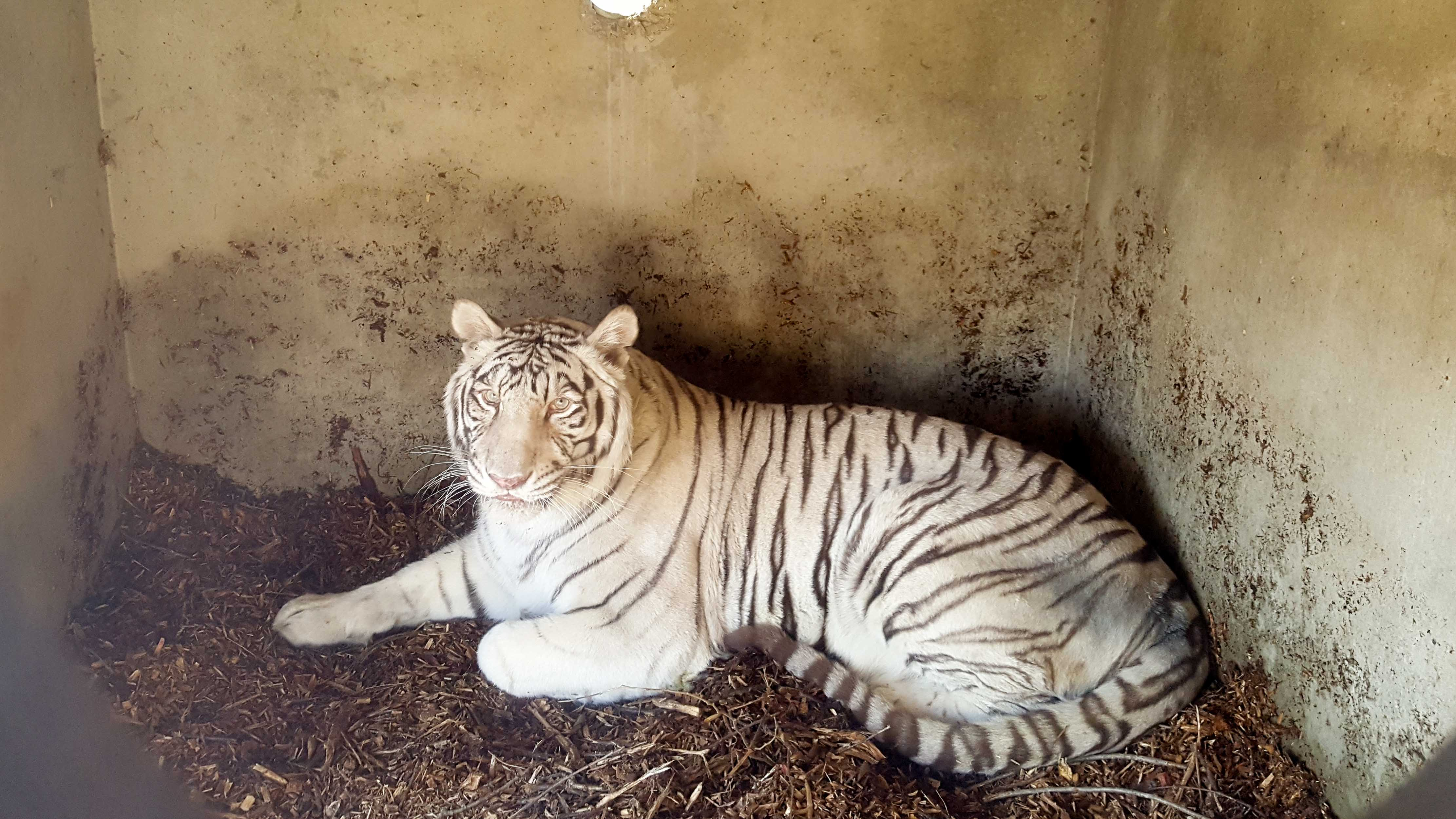 <p>The refuge says she will spend a few days in the night house area for observation but will then be given access to a large grassy habitat she will call home. (Photo courtesy: Turpentine Creek Wildlife Refuge)</p>