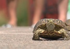 Loup County turtle races 2.jpg