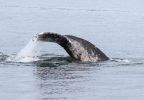 Saratoga gray whale off whidbey Island - Credit Capt Michael Colahan.jpg