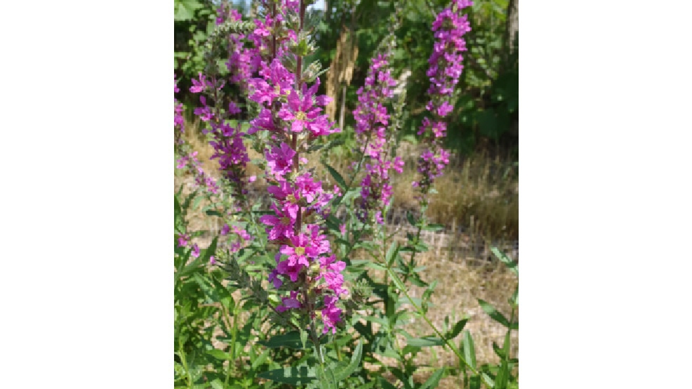 Purple loosestrife (Photo courtesy Wisconsin DNR)
