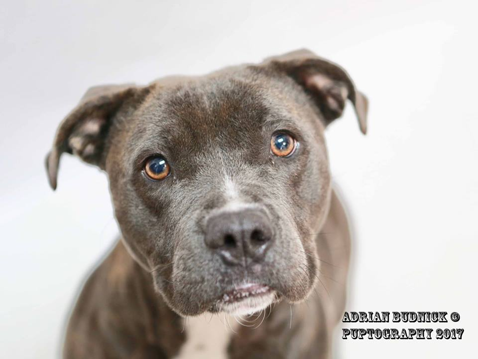 Presley A168612 is a 3 year old pit bull. She is available at Metro Nashville Animal Care and Control